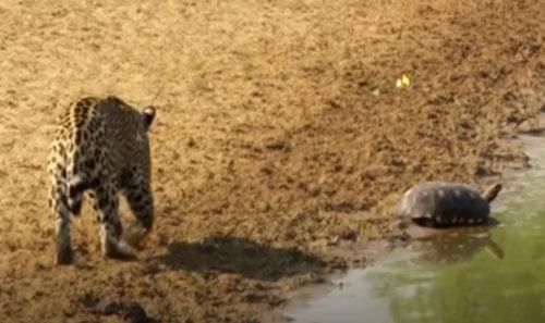 черепаха не хочет быть обедом