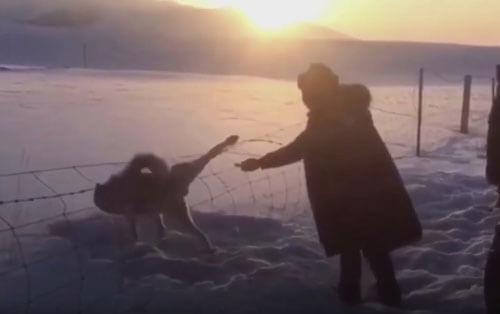 помощь застрявшему волку