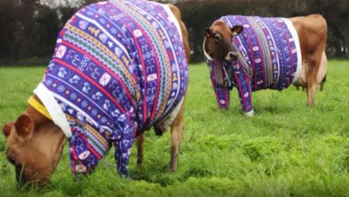коров одели в свитеры