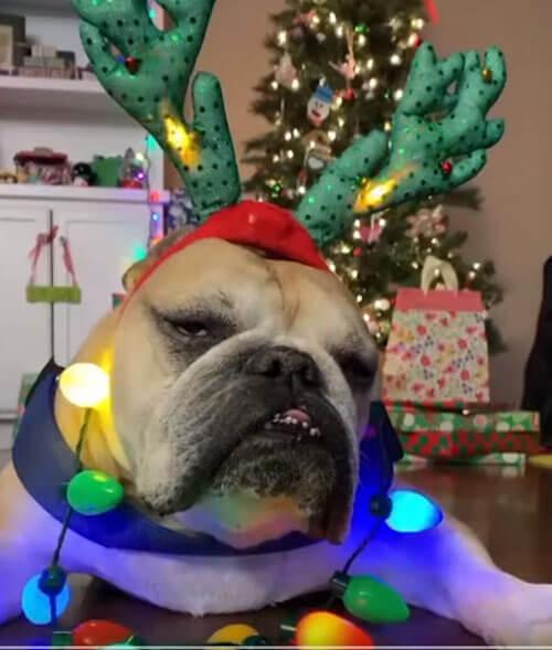 бульдог не проникся рождеством