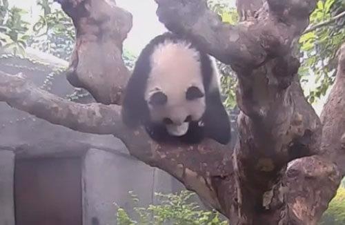 панда уронила еду с дерева