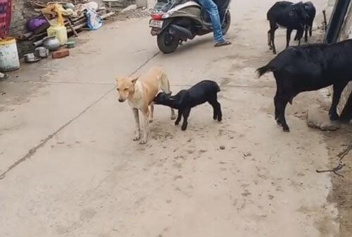 собака кормит козлёнка