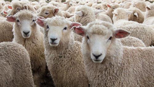 овца носит бюстгальтер