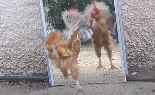агрессивный петух с зеркалом