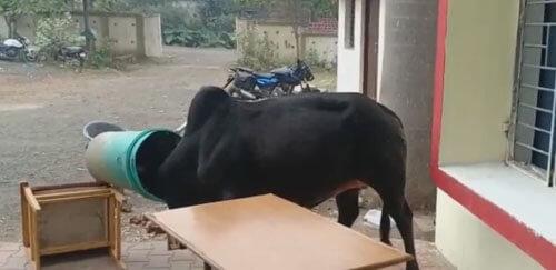 слишком любопытный бык