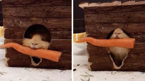 морковка для морской свинки