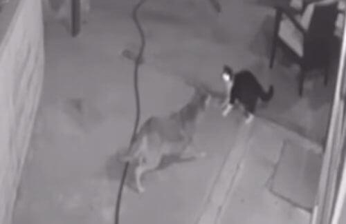 отважная кошка и койоты