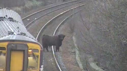сбежавшая корова на рельсах