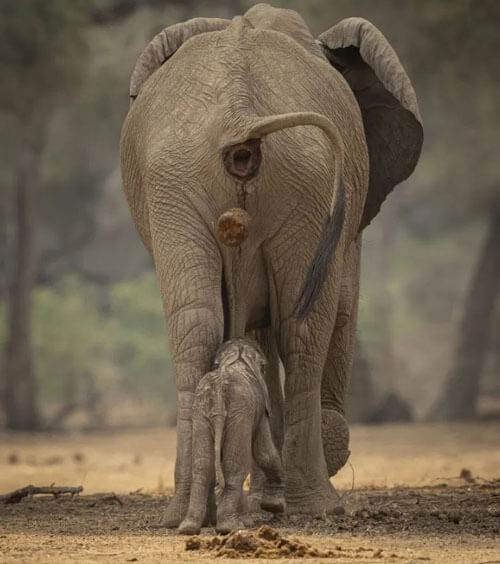 слониха испражнилась на слонёнка