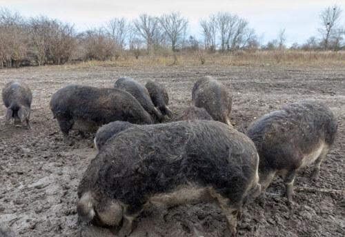 свиньи съели хозяина