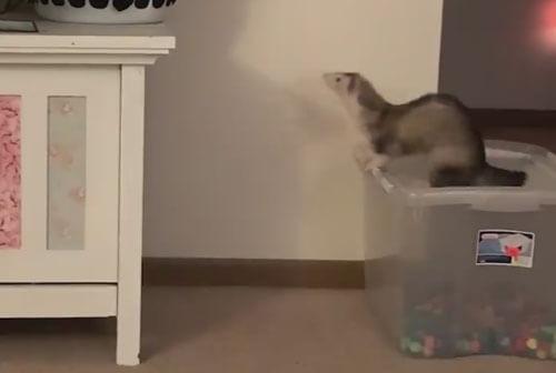 неудачный прыжок хорька