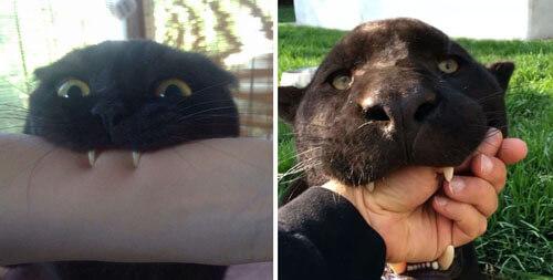 чёрные кошки похожи на пантер