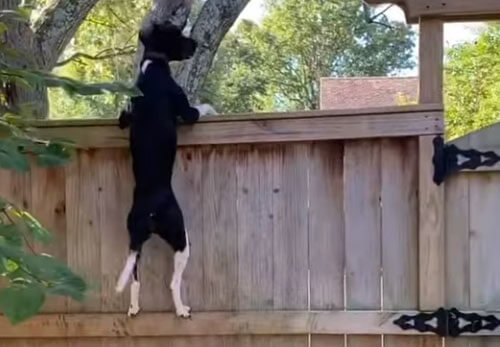 собака влезает на забор