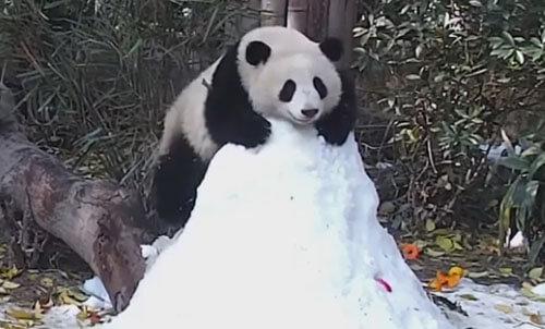 панда скатилась с горки