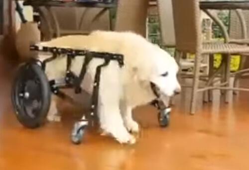 собака-инвалид в бассейне