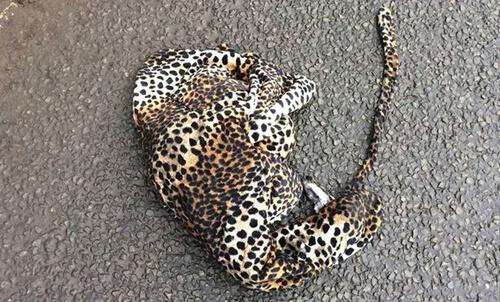 сбитый машиной леопард