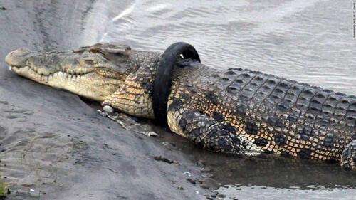 награда за освобождение крокодила