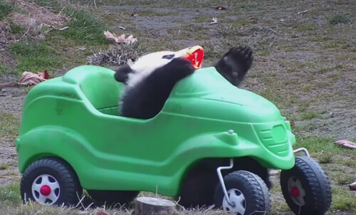 панда на игрушечной машинке