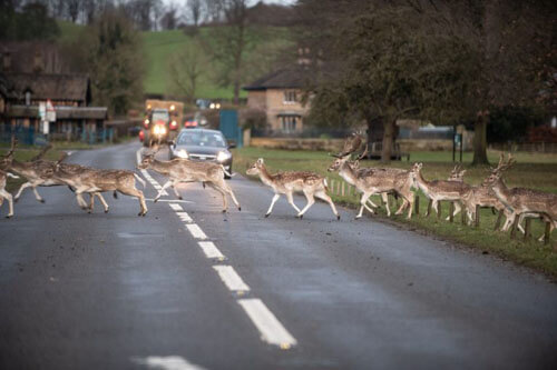 большое стадо оленей на дороге