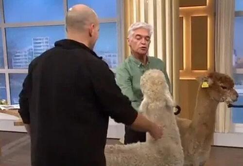 альпака плюнула в ведущего шоу