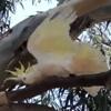попугай защищает своё дерево