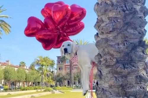 собака взлетела на воздушных шарах