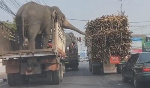слоны воруют тростник