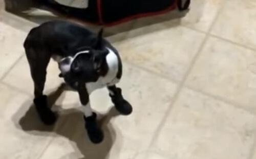 собаке не понравились ботинки