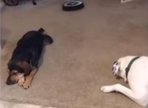 ссора собак из-за робота-пылесоса