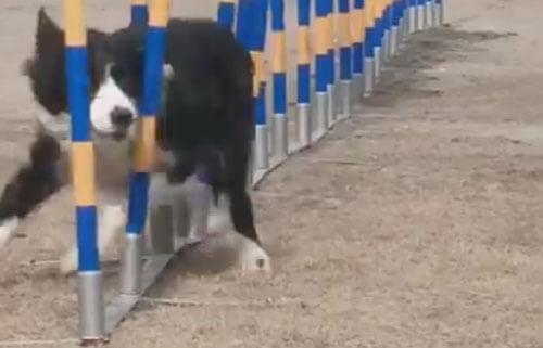 быстрая и ловкая собака