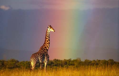 фото жирафа на фоне радуги