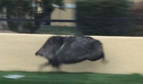 свинья спешит по важным делам