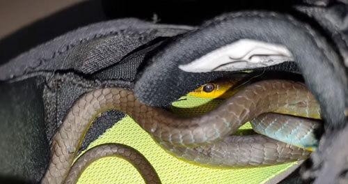 змея спряталась в кроссовке