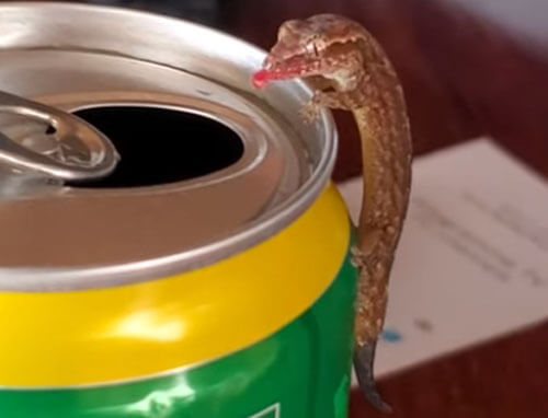 ящерка пьёт ананасовый сок