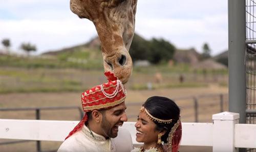 жирафу понравился тюрбан жениха