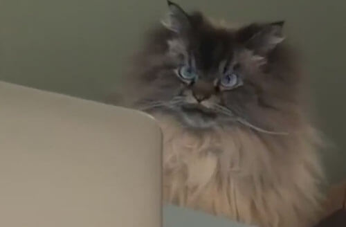 злой кот перед ноутбуком