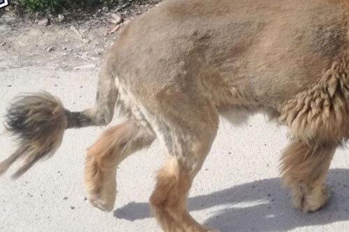 лев оказался крупной собакой