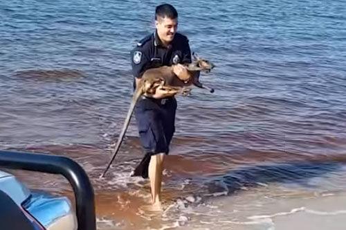 валлаби заблудился в воде