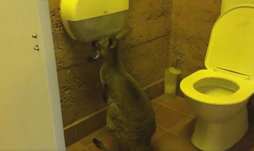 кенгуру с туалетной бумагой