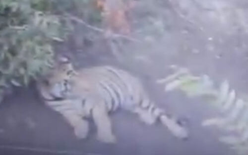 тигры на лесной дороге