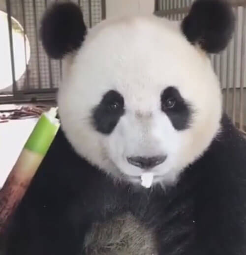 панда не разбрасывается едой
