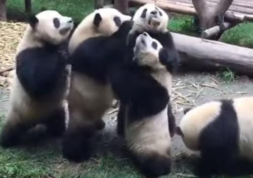 панды не хотят делиться