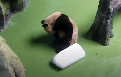 панда с куском льда