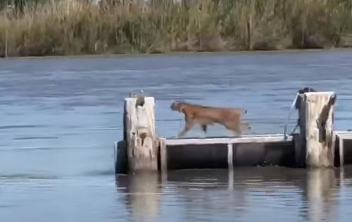 рысь мастерски прыгает