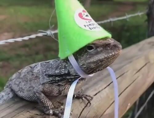 смешные костюмы для ящерицы