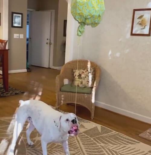 необычная собачья пиньята