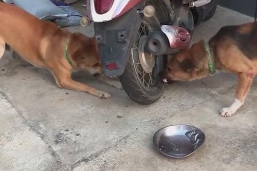 необычная ссора двух собак