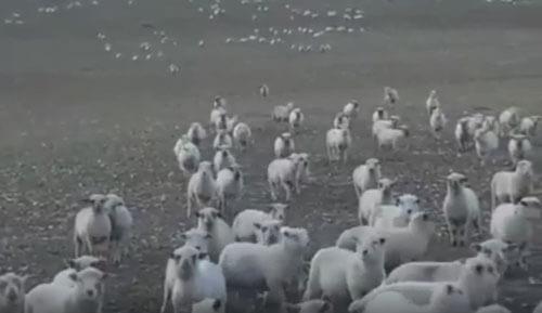 овцу снимают на видео