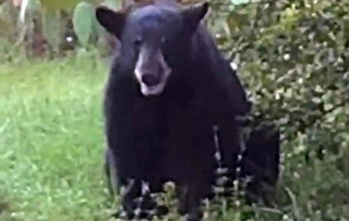 медведя заманили пончиками