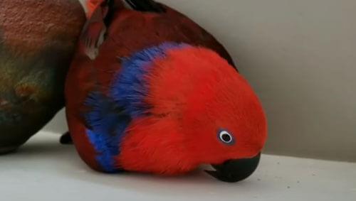 попугай с ненастоящим яйцом